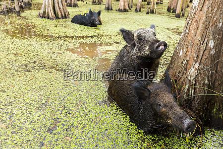 feral pigs swim in a louisiana