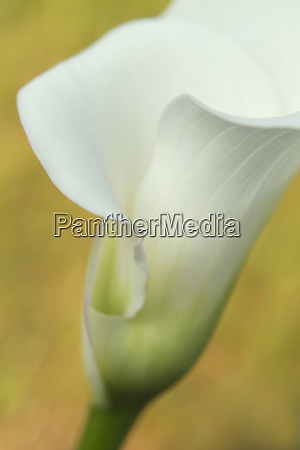 usa maine harpswell white calla lily