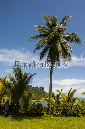lonely palm tree pohnpei micronesia central