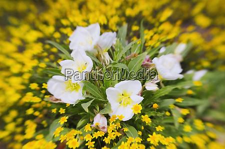 evening primrose oenothera californica and goldfields