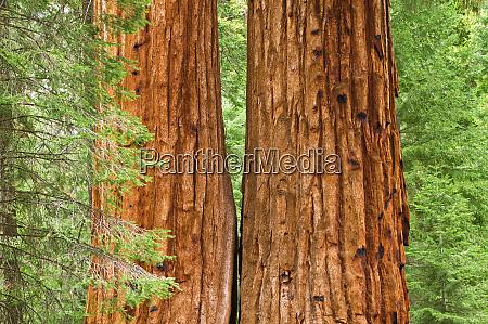 giant sequoias sequoiadendron giganteum trail of