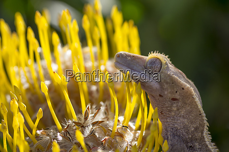 eyelash gecko on proteus flower cal