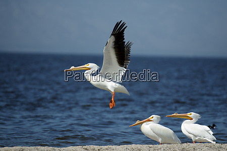 white pelicans pelecanus erythrorynchos on the