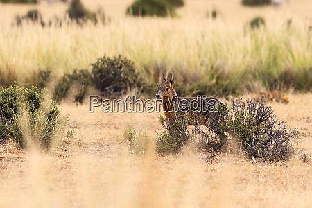 patagonian hare dolichotis patagonum alert and