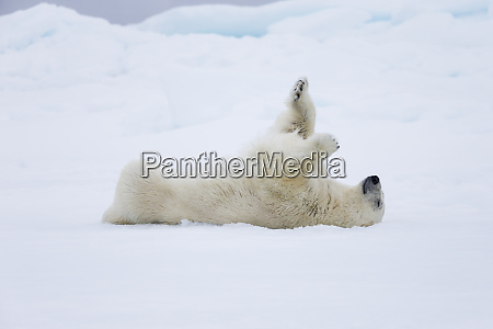 norway svalbard pack ice polar bear