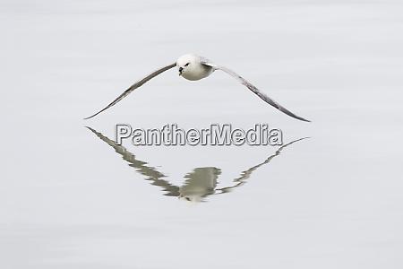 norway svalbard northern fulmar fulmarus glacialis