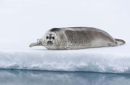 arctic north of svalbard a portrait