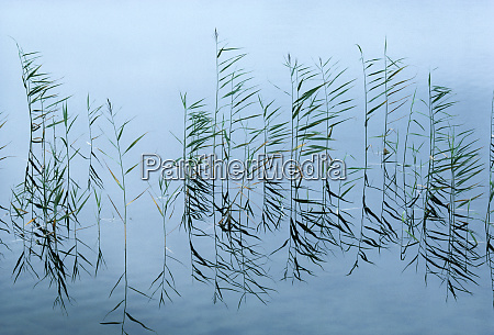 reeds and reflections on this pond