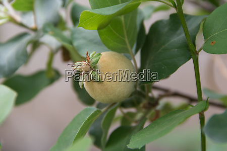 detail of an ornamental edible quince