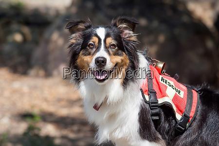 australian shepherd search and rescue dog