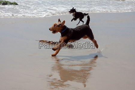 airedale running on the beach with