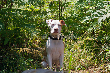american pit bull sitting in greenery