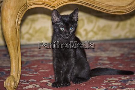 black kitten sitting on rug