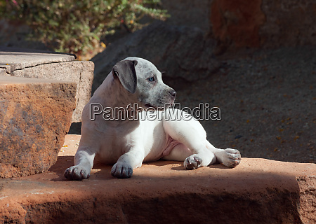 american staffordshire terrier puppy lying down
