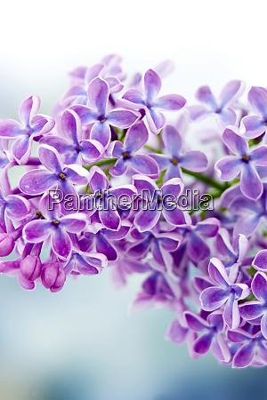 blooming lilac flowers macro photo