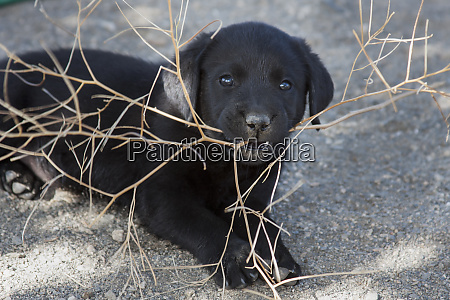black labrador retriever puppy chewing on
