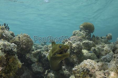 green moray gymnothorax funebris lighthouse reef