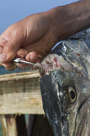 great barracuda maralliance is performing population