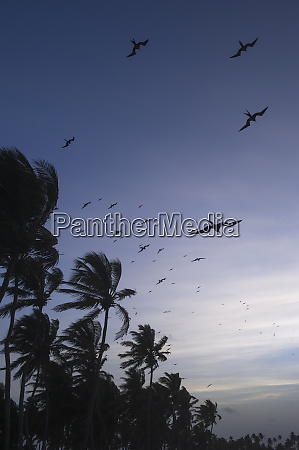 coconut palm cocos nucifera and magnificent