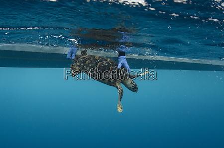 hawksbill turtle eretmochelys imbricata release after