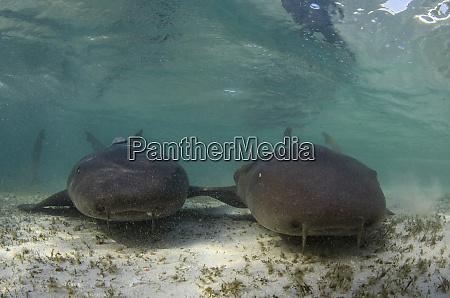 nurse shark ginglymostoma cirratum marine megafauna