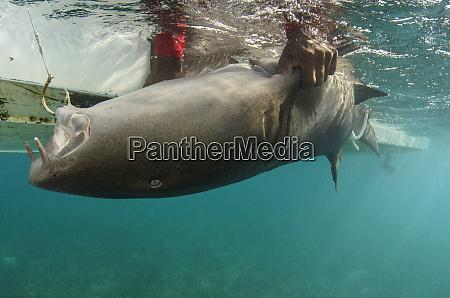 nurse shark ginglymostoma cirratum research marine