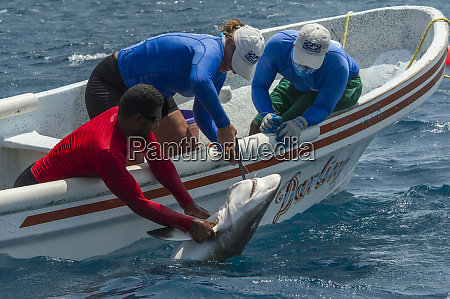 caribbean reef shark maralliance performing a