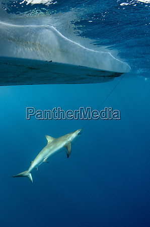 caribbean reef shark maralliance is performing