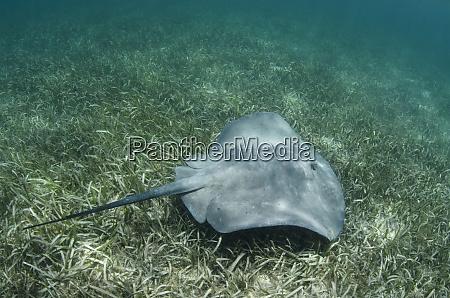 caribbean whiptail ray himantura schmardae rhizophora