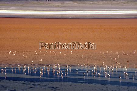 flamingos in laguna colorada eduardo avaroa