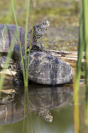 european pond turtle or european pond
