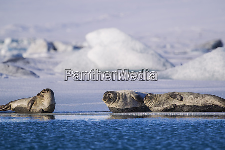 harbor seals on ice flow at