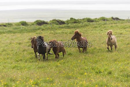 europe iceland southwest iceland icelandic horses