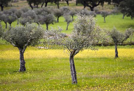 olive grove near marvao portugal