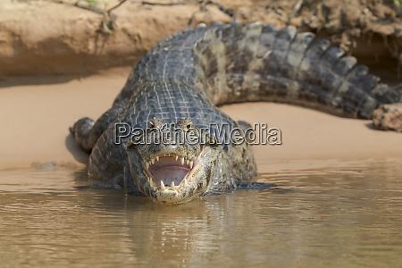 brazil the pantanal black caiman caiman