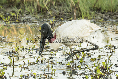 pantanal mato grosso brazil jabiru looking