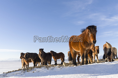 icelandic horse during winter in iceland