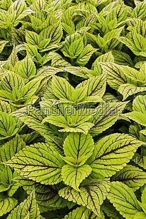 natural pattern in coleus vegetation