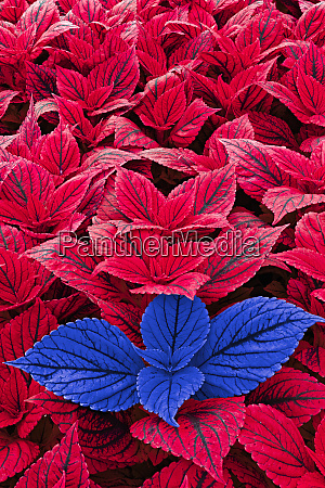 red and blue coleus leaves