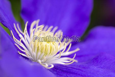 purple clematis or travellers joy flower