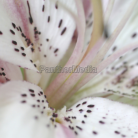 white oriental lily abstract