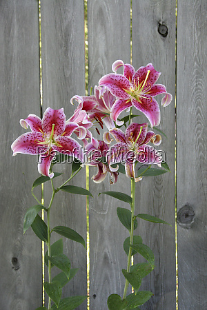 stargazer lily by rustic fence