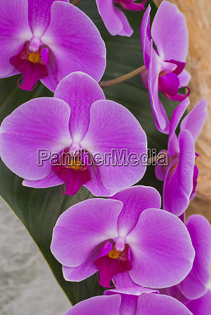 pink orchid blooms