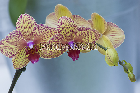 peach orchid blooms