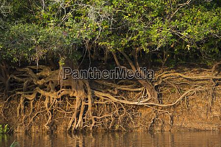 tree roots on riverbank northern pantanal