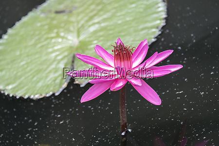 tropical night flowering waterlily usa