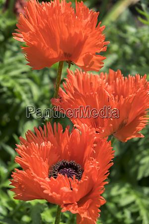 orange oriental poppies usa