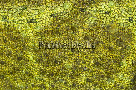 skin pattern on chameleon