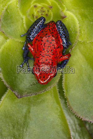 blue jeans or strawberry dart frog