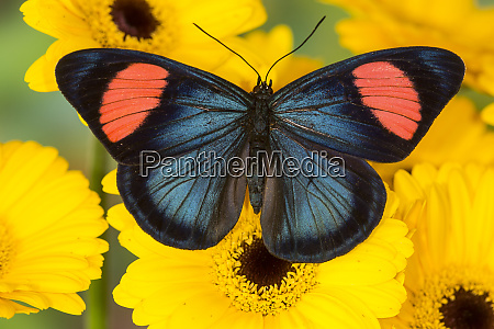 painted beauty butterfly from the amazon
